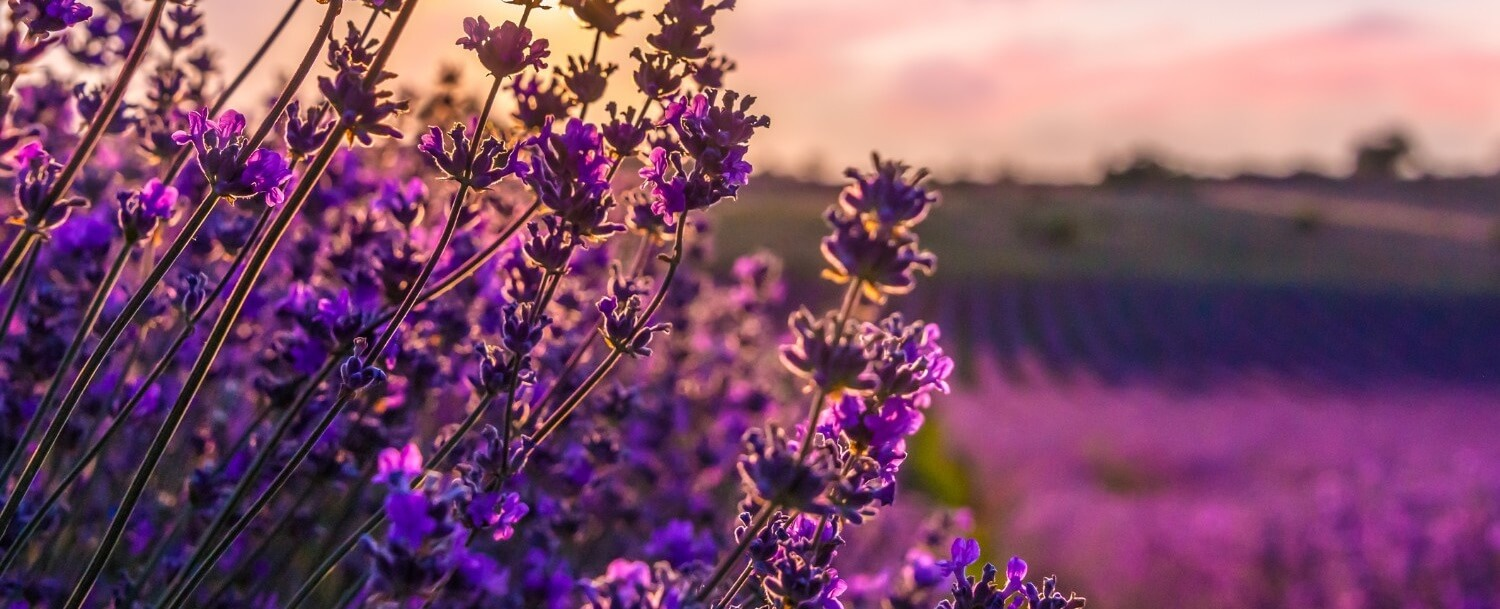 lavendar fields flowers spring