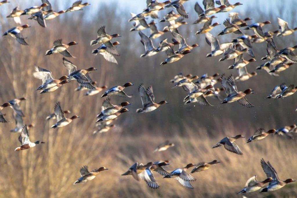 maryland waterfowl season