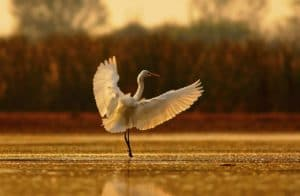 egret on water