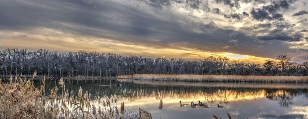 Canada Geese swimming in a Chesapeake Bay pond in Winter at sunset